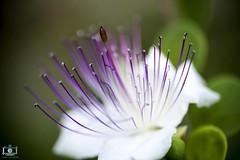 Fiori di cappero (gigiochef) Tags: fiori pistilli cappero macro particolare