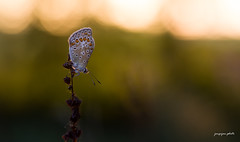 Common blue in the golden hour (Jongejan) Tags: butterfly icarus icarusblauwtje ochtendzon zonlicht zon outdoor insect animal closeup macro bokeh goldenhour outside sun countryside