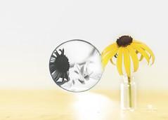 dysmorphic (rockinmonique) Tags: 52in52 201852weekthemechallenge flower mirrow yellow bw mono monochrome blackandwhite reflection theme moniquewphotography canon canont6s tamron tamron45mm copyright2018moniquewphotography