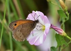 Neopolitan. (pstone646) Tags: butterfly brown pink white insect nature animal wildlife fauna flora flower pollination feeding closeup ashford kent bokeh green