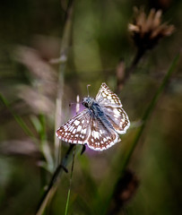 Am I Handsome? (Portraying Life, LLC) Tags: dbg6 da3004 hd14tc k1mkii michigan pentax ricoh unitedstates butterfly closecrop handheld nativelighting skipper deanroad meadow wild thatch