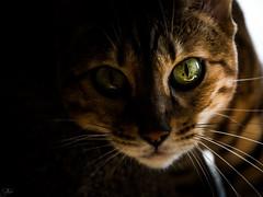 Maya (Mystikopoulos) Tags: bengal cat eyes eyecontact lightplay spotted animal animallover peta