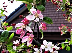 484. URBAN RUSTICS: Apple Blossom Cottage 2 (Meili-PP Hua 2) Tags: spring blossoms petals blooms flowers buds pink crimson red sky mlpphflora photographypassionsxyz trees brances boughs sprigs macro macroflowers cottage rustic flower springflowers