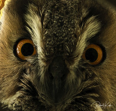 The eyes of the..... (Jambo53 (catching up)) Tags: owl uil ransuil asiootus longearedowl nikond800 nikon500f4 tree boom vogel cropped closeup eyes