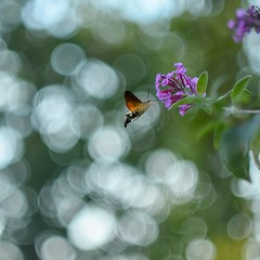 Macroglossum stellatarum / Fruczak gołąbek (agnieszka.a.morawska) Tags: summer garden bkhq beyondbokeh bokehlicious helios44m helios macro dof bokeh butterfly motyl fruczakgołąbek macroglossumstellatarum