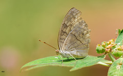 Grey Pansy (bwhi005) Tags: butterflies butterfly tamilnadu chennai vandaloor zoo grey pansy leaves green dof flowers honey nature small wings tiny beauty antena