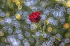 Roses (Torok_Bea) Tags: rose roses rózsa redroses redrose triplan meyeroptikgörlitztrioplan meyeroptika trioplan100mm nikon nikond7200 d7200 bokeh bokehbliss vintage manuallens manual natur flower flowers bokehvintage happybirthday happybirthdayflowers