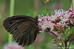 Farfalla _131 Minois dryas maschio (Rolando CRINITI) Tags: farfalla insetti macro pianidipraglia natura minoisdryas