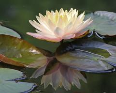 IMG_0523edited.psd (sherri_lynn) Tags: waterlilies flowers lilies ponds water lilypads garden gibbsgardens reflections