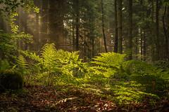 forest series #91 (Stefan A. Schmidt) Tags: warstein nordrheinwestfalen deutschland de forest tree trees sunbeam fog pentaxart