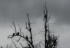 Misty Day Turkey Vultures (timvandenhoek1) Tags: missouri midwest turkeyvultures misty overcast cloudy silhouette sonyilce6000 sonye55210mmzoomlens timvandenhoek