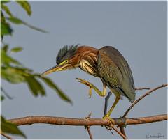 Green Heron (Summerside90) Tags: birds birdwatcher greenheron august summer nature wildlife ontario canada