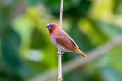 Spice Finch (Subash BGK) Tags: scalybreastedmunia spicyfinch spottedmunia nutmegmannikin estrildidfinch finch bird