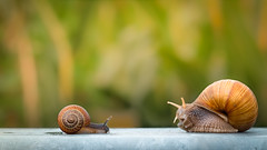 Hello, big Friend (St1908) Tags: fujifilm80mm fuji fujifilm xt2 xf80mm macro makro schnecken snails sharpness schärfe detail farben colors freundschaft friendship together bokeh tier animal weichtier snail