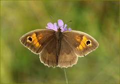 Female Meadow Brown on Field Scabious (glostopcat) Tags: meadowbrownbutterfly butterfly insect invertebrate macro wildflower fieldscabious summer glos august butterflyconservation prestburyhillnaturereserve