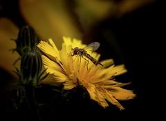 Flower and waps ... (Julie Greg) Tags: flower flowers wasp colours colour details detail canon canon800d park garden england kent yellow dandelions dandelion