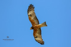 Adult Square-tailed Kite (Ant & Steph) Tags: wanderingeagles bongilbongil coast flight birds raptors squaretailedkite kite