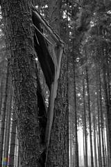 it's inner silence i fear most (v a n d e r l a a n . fotografeert) Tags: 201809072484 duitsland germany bomen bos forest trees vacation vakantie2018 vanderlaanfotografeert wald monochroom monochrome