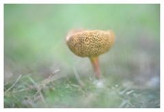 Fungus (leo.roos) Tags: mushroom mushrooms fungus fungi paddenstoel paddestoel paddenstoelen paddestoelen schimmel schimmels zwam zwammen a7 iscogöttingenduotar8515 projectorlens projectionlens darosa leoroos
