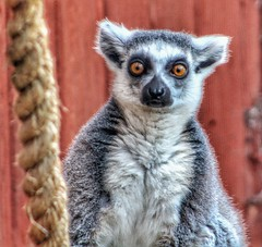 Did you hear something?!!!😀 (LeanneHall3 :-)) Tags: lemur white grey black fur animal closeup closeupphotography aviary eastpark hull kingstonuponhull canon 1300d