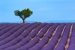 L'amore ha la precedenza sulla fotografia :) (marypink) Tags: plateaudevalensole provenza provence lavanda lavander campo field albero tree love sky summer fioritura nikond800 nikkor70200f28