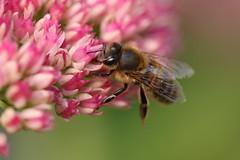 Honey Bee On Sedum (Chris*Bolton) Tags: honeybee honey insect insects bee nature wildlife sedum flower flowers kilmacurragh wicklow ireland
