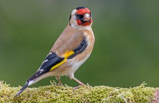 DSC3944  Goldfinch..