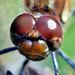 Common Darter head. (Sympetrum striolatum.) R276.95.