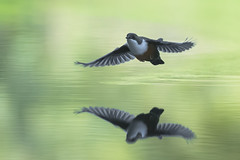 Wasseramsel 18001 (bertheeb) Tags: wasseramsel vogel singvogel nikon d750 500mmvr
