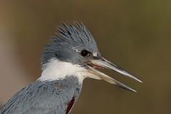 Ringed Kingfisher (Greg Lavaty Photography) Tags: ringedkingfisher megaceryletorquata brazil august matogrosso pantanal wetlands outdoors bird nature wildlife