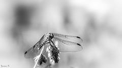 Butterfly - 5909 (ΨᗩSᗰIᘉᗴ HᗴᘉS +22 000 000 thx) Tags: nb blackandwhite monochrome maro insect hensyasmine namur belgium europa aaa namuroise look photo friends be wow yasminehens interest intersting eu fr greatphotographers lanamuroise