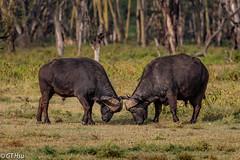 Lake Nakuru National Park @ 2018.8.25 (viwes) Tags: africanbuffalo animal capebuffalo 非洲水牛