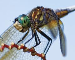 DragonFly_SAF4078_DxO (sara97) Tags: odonata copyright©2018saraannefinke dragonfly insect missouri mosquitohawk nature photobysaraannefinke predator saintlouis towergrovepark macro closeup