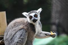 Ring-tailed Lemur (mellting) Tags: djurparker eskilstuna nikond500 parkenzoo platser sigma1506005063sport bloggad flickr instagram matsellting mellting nikon sverige sweden ringtailedlemur ringsvansadlemur lemur lemurcatta zoo animal mammal
