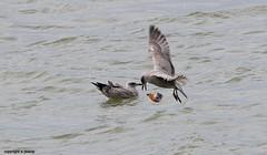 Gulls J78A0870 (M0JRA) Tags: birds gulls flight flying wildlife rats walks gardens parks fields trees lakes ponds ducks swans rspb
