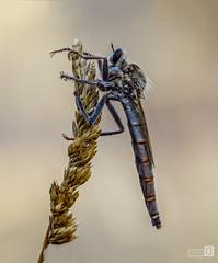 Asesina (JoseQ.) Tags: asesina mosca asildae bicho insecto animal macro macrofotografia detalle campo airelibre