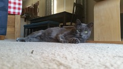 Waylon (ashman 88) Tags: feline gato waylon wayloncat felissilvestriscatus cat kitty male