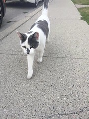 Sighting grey and white young cat on #Galbraith Drive #glamorgan by the condo complex. if you recognize it, or know anyone who might know where it belongs, feel free to message me or comment on this status!!! 💕😊 YYC Pet Recovery shared Mo (yycpetrecovery) Tags: ifttt august 23 2018 dsh whiteblack whitegrey greynose blacknose greywhite blackwhite glamorgan foundsighted cat foundsightedcat