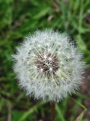 """Fairyland"" (bradhodges09) Tags: makeawish newmexicophotography newmexico metaphor seedsoflife seeds propagation fragility vulnerability closeup dandelion dandelionseeds nature focusonforeground"