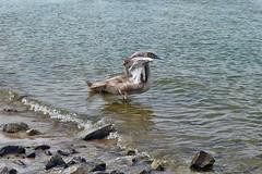Jungschwäne im Rhein (mama knipst!) Tags: schwan swan rhein rhine wesseling