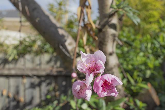 Peach Flower Up Close 2