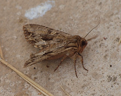2018_07_0386 (petermit2) Tags: moth northcavewetlands northcave brough eastyorkshire eastridingofyorkshire yorkshire yorkshirewildlifetrust ywt wildlifetrust wildlifetrusts