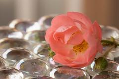 Little rose on glass peebles (Gisou68Fr) Tags: macromondays glass rose flower glasspeebles galetsenverre verre galets