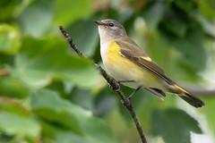 Fall Migration, Female American Redstart (dshoning) Tags: bird female redstart tree leaves september migration