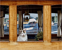 Cat in the Window (Hindrik S) Tags: cat kat poes katze chat window finster rút raam venster posing portrait 50mm wood hout holz ship animal dier huis huisdier húsdier sonyphotographing sony sonyalpha alpa a57 α57 slta57 2018