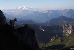 Bouquetin sur Mont Blanc (Fred Gg) Tags: hautesavoie auvergnerhonealpes chablais bernex dent oche bouquetin animal montblanc montagne mont blanc