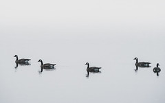 Odd One Out (Carrie Cole Photography) Tags: canadiangeese canadiangoose carriecolephotography geese bird birds brantacanadensis canadagoose migratory northamerica