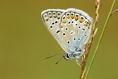Common blu (Lt_Dan) Tags: commonblue butterfly farfalla wildlife macro nature natura