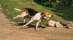 Galloping foxhound rounding a corner