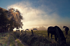 Morning hour (Rita Eberle-Wessner) Tags: landschaft landscape nebel fog sonne sun sonnenstrahlen sunrays baum tree wiese meadow weide pasture weg path feldweg zaun fence pferd pferde horse horses tiere animals light lightrays licht lichtstrahlen morninghour morgenstunde morgen